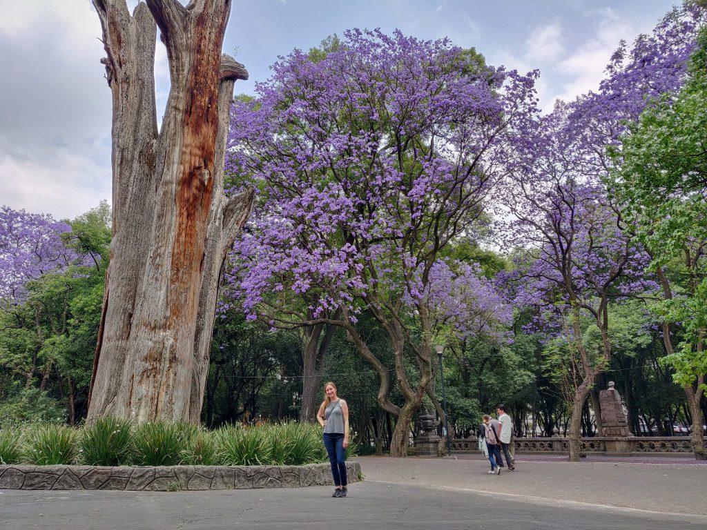 jacaranda trees blooming in Mexico City
