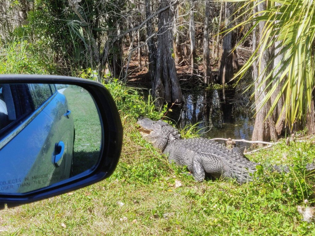 An alligator, as viewed from the window of a car
